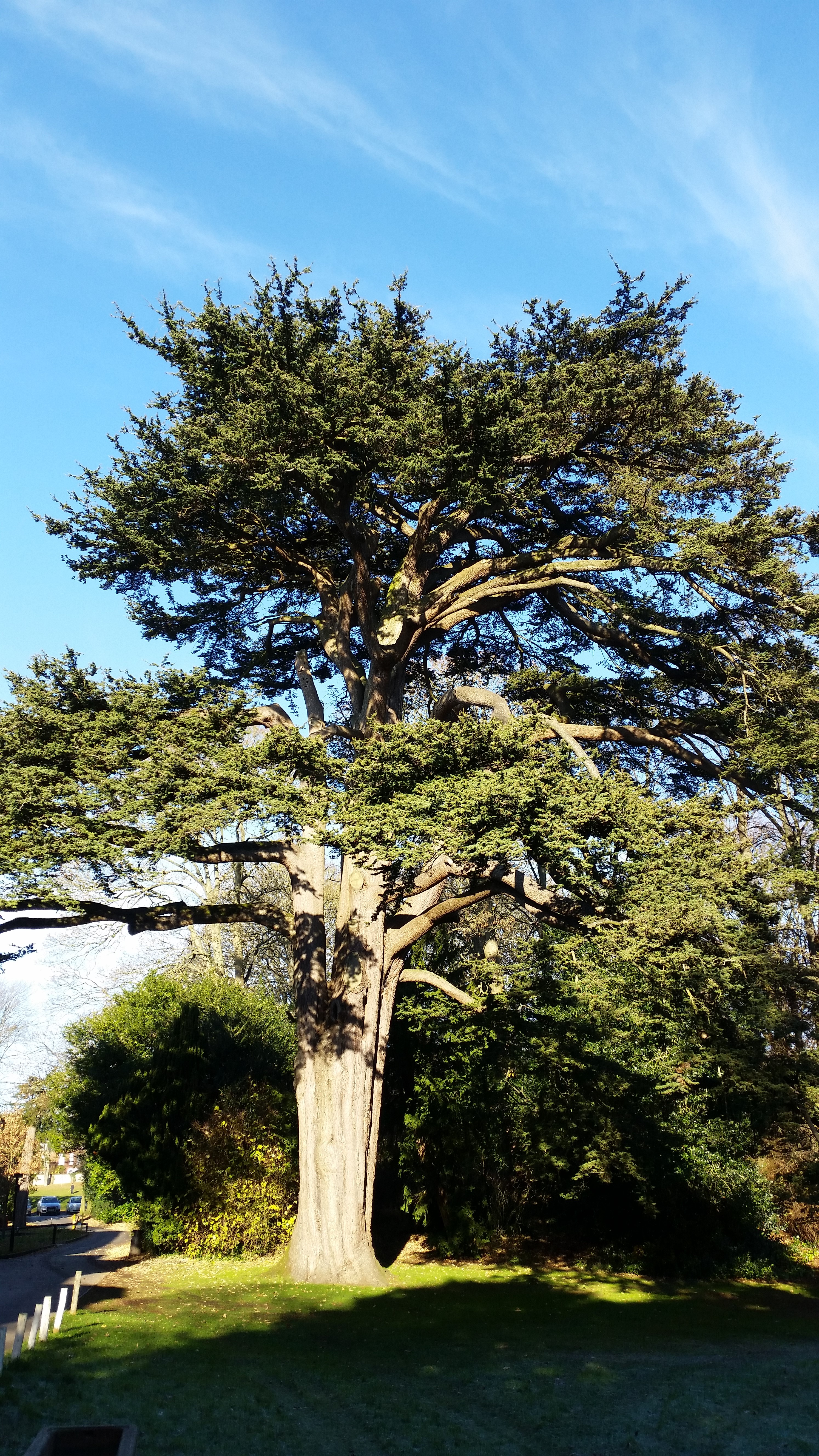 Bourne HIll Cedar of Lebanon 2