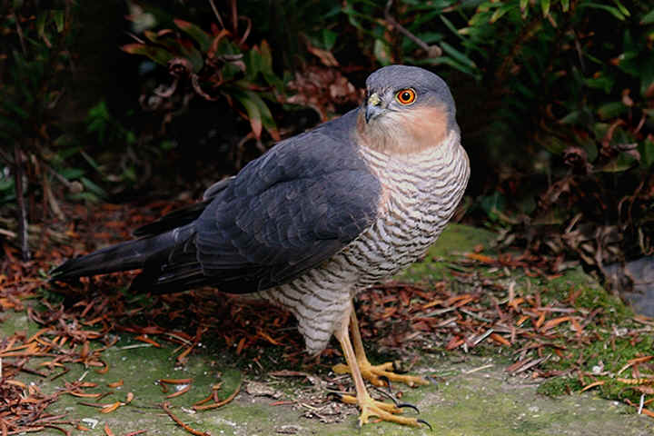 Bemerton Folly Sparrowhawk202